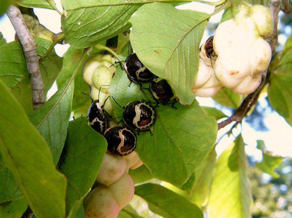 アカスジキンカメムシの幼虫、パンダカメムシ。ピエロ顔にも見えるような