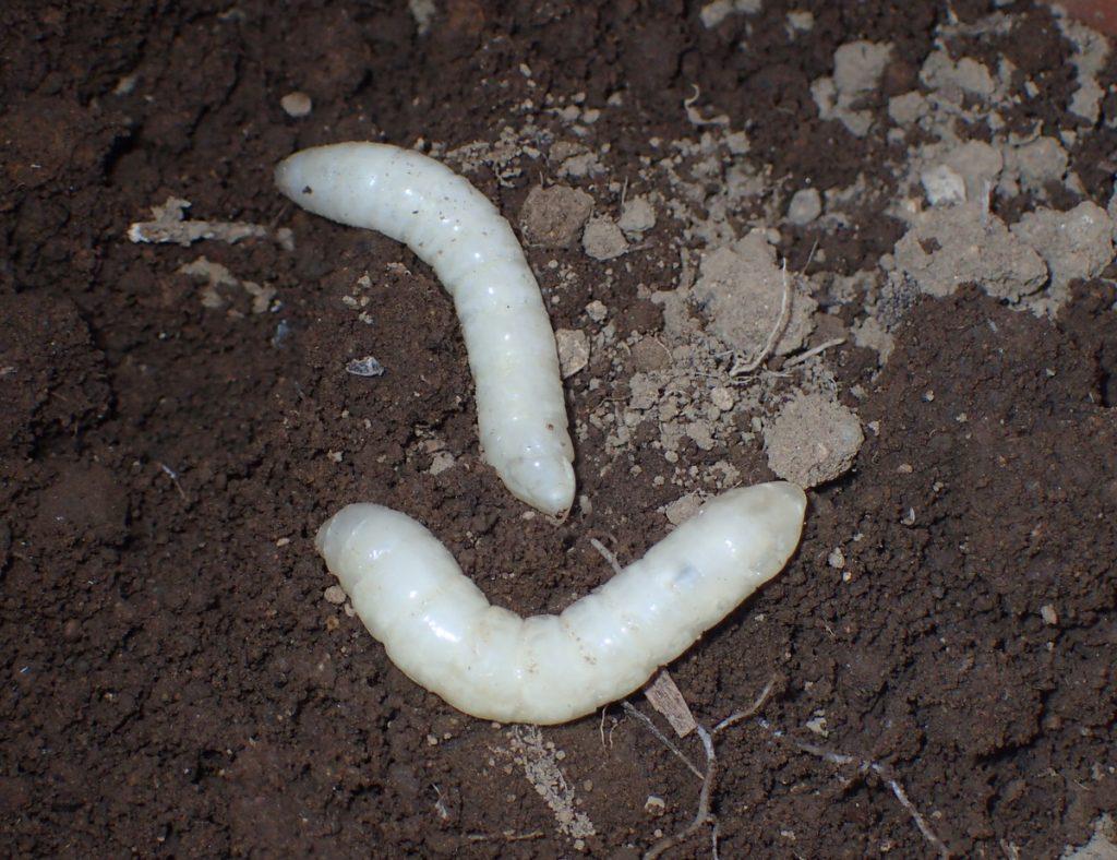 透明感のあるシオヤアブ幼虫。先端部にはいくらか毛が生えているが、見た目はつるつるの体表だ