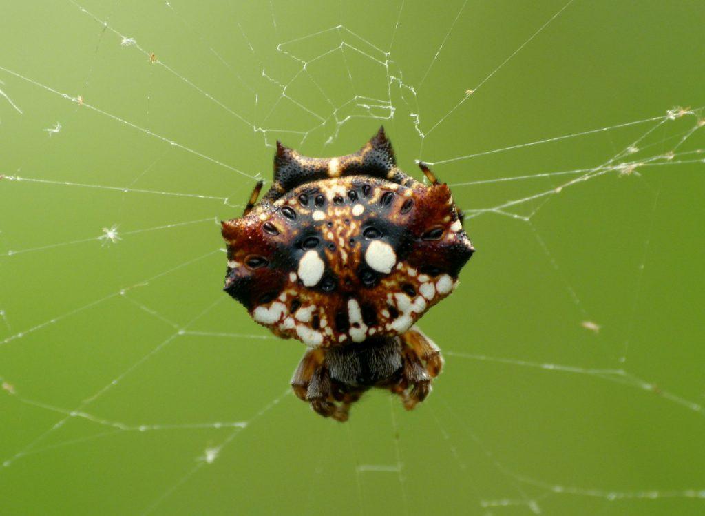 沖縄でよく見るチブサトゲグモ。シーサーにそっくりなのは土地柄かな