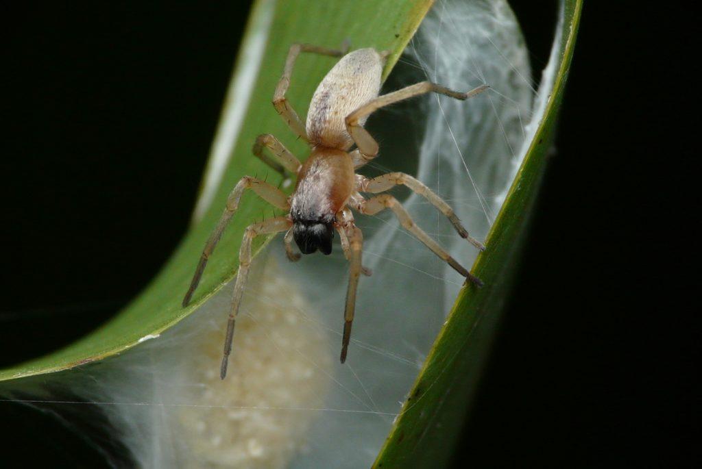 カバキコマチグモの雌