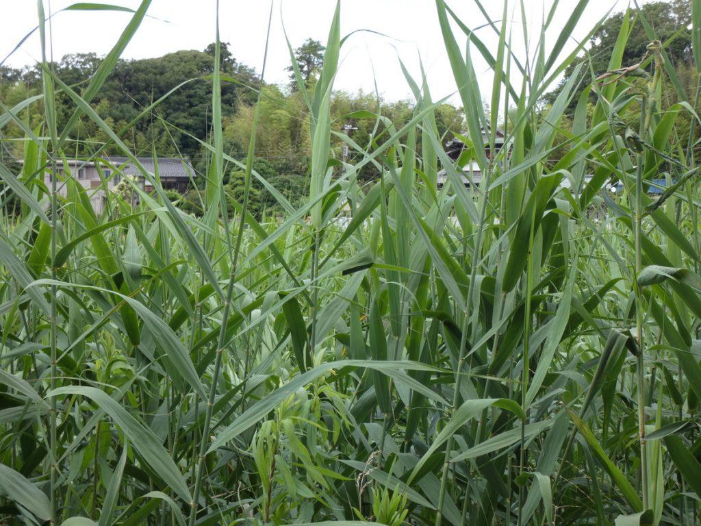 イネ科植物が生えるこんな場所にはカバキコマチグモが生息する可能性が高いが、必要以上に怖がることはない