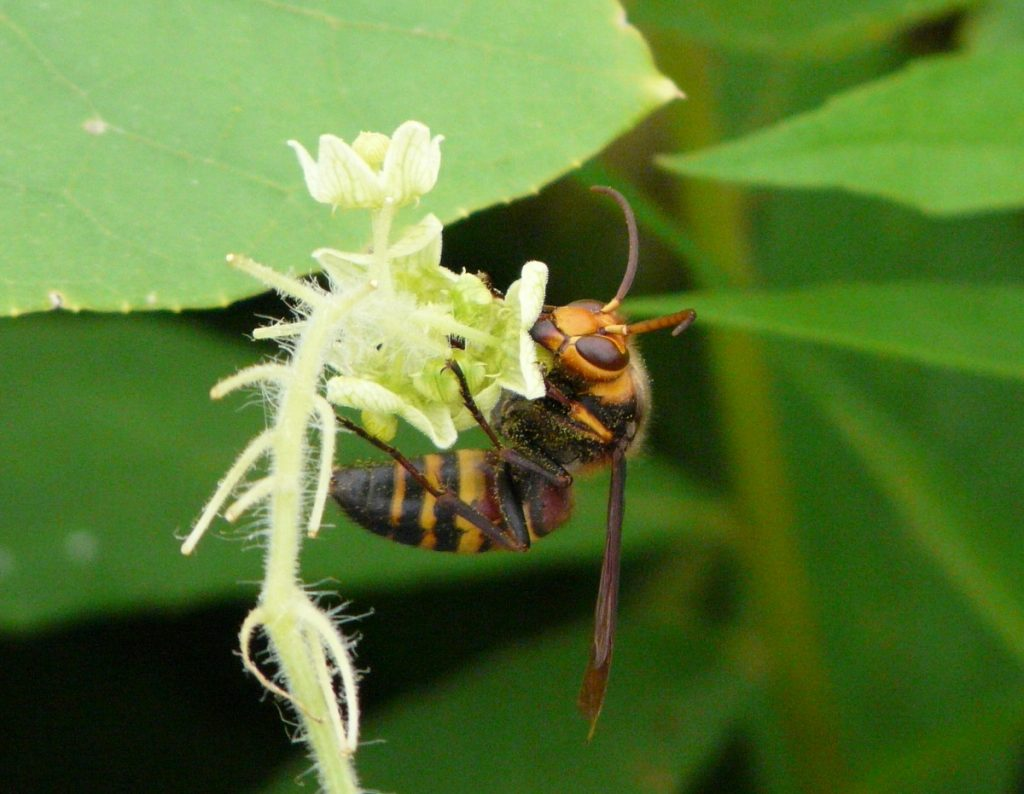 花を訪れるスズメバチの仲間にもよく出会う。静かに観察するだけなら、何もされない